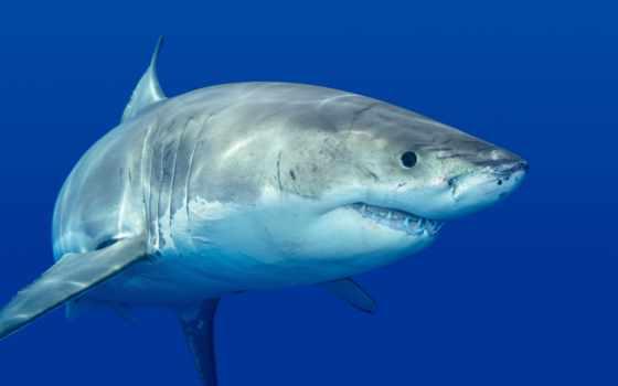 ответы, акула, процента, картинка, игре, жарка, уровень, игры, ответить, ocean, зубы,