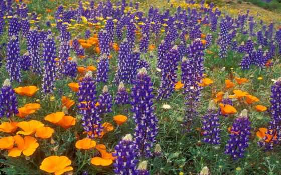 flowers, lupine, цветы, wild, prints, canvas, pinterest,