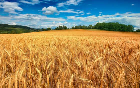 поле, пшеница, колосья, небо, trees, пшеницы, дерево, oblaka, облаках, margin,