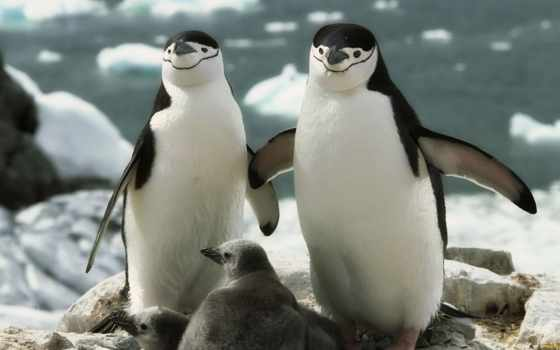 пингвины, пингвин, пингвинов