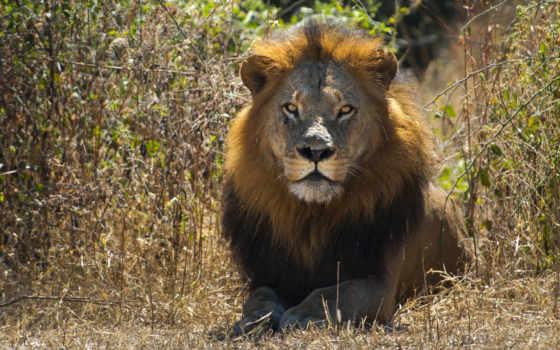 lion, зверей, king, грива, нравится, desktop, львы, кошки, сила,