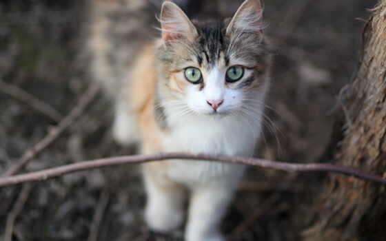 кот, фото, calico, gato, manx, использование, pepino, commercial, attribution, require, качество
