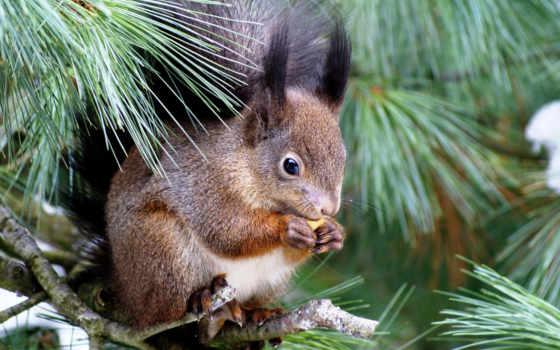белки, дерево, белки, еда, ёль, увлеченность, sit, дереве,