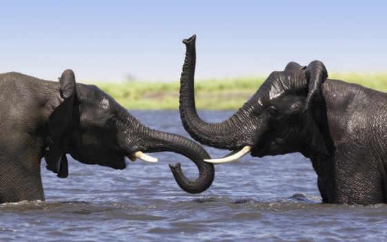 african, слоны, elephants, слон, lat, африканские, саванна, loxodonta, baby,