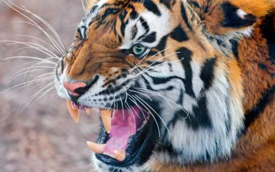 тигр, тигры, лицо, эмоциональные, кожей, лица, красивые,