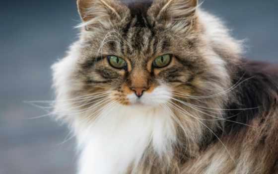 кот, gatos, лесная, peludos, gato, fotos, más, взгляд, los, portrait,