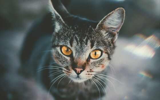 кот, взгляд, картинка, ipad, black, морда, striped, sit, british, wild