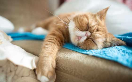 кот, отдых, кошки, спать, леопард, картинка, нравится, экзотическая, exotic, короткошёрстная,