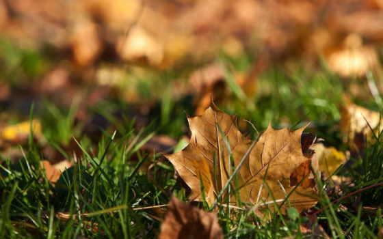 лист, осень, dry, трава, fallen, кленовые, листва, траве,