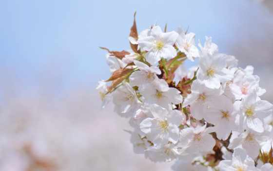 cherry, branch, abyss, весна, природа, Сакура, cvety, лепестки,