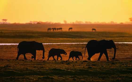 слоны, идут, закат, zhivotnye, слонов, природа, schimmel, william, art, яndex, water,