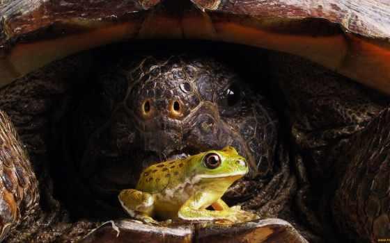 черепаха, лягушка, панцирь