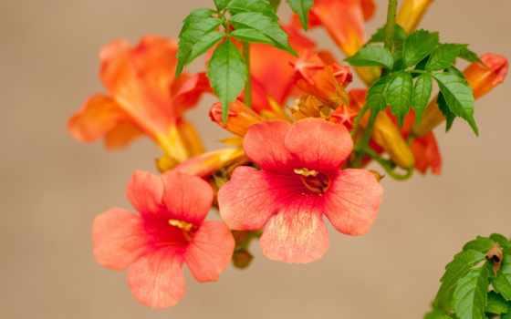кампсис, цветы, текома
