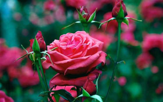 розы, цветы, крупным, планом, бутон,