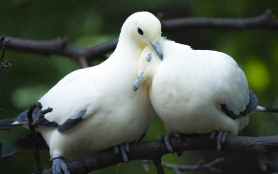 птицы, love, голуби, пара, branch,