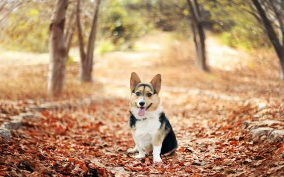 осень, zhivotnye, собака, осенних, листьях, природа, trees,