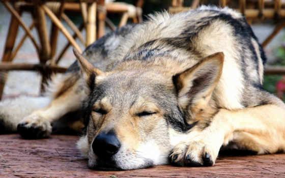 чехия, волчак, собака, pinterest, снится, хаски, discovered, walnut, орех,