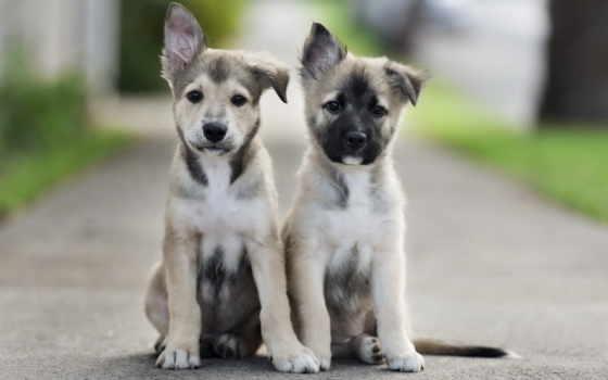 video, собаки, щенки, корзина, sit, pair, собаку, шарпеи, щенка,
