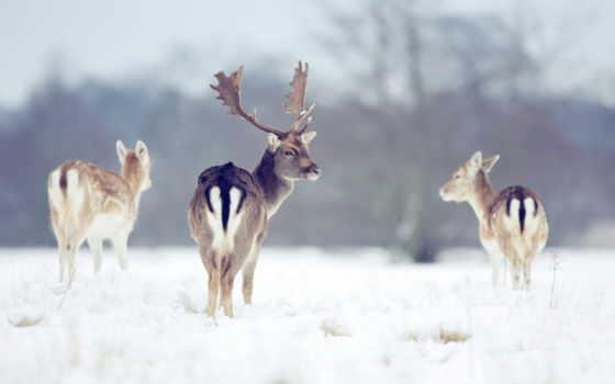 олени, природа, winter, лань, снег, рога, zhivotnye, рисунки, лес, trees, martha,
