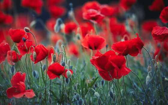 цветок, мак, цветы, priroda, природа, маки, dimension, красивый, фотография, kartinka, бесплатный