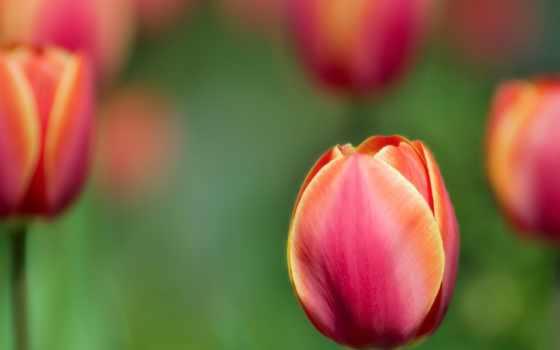 цветы, тюльпаны Фон № 34844 разрешение 1600x1200