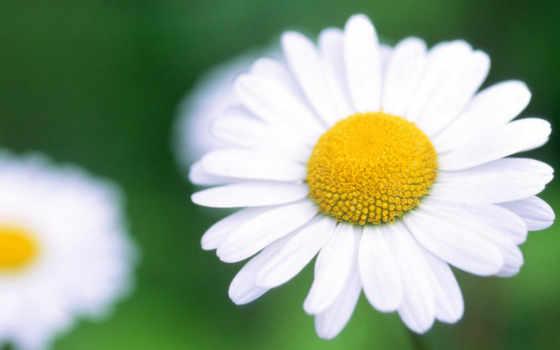 hoa, cực, dài