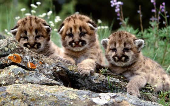 смешные, тигрятами, но, окраса, white, born, обычного, вместе, помёте, тигрята, может,
