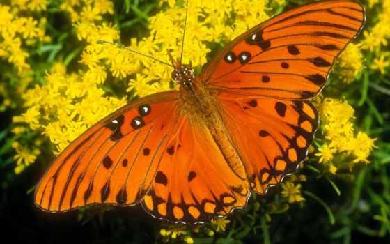 бабочки, красивые, цветы