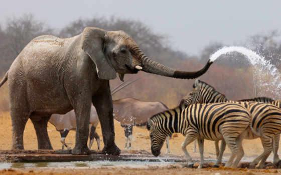 слон, поливает, водой, своего, хобота, зебр, слоны, сам, воду, принцесса,