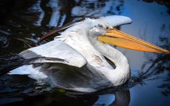лебедь, картинка, птица, wings, water, trumpeter, white, пруд, отражение, squirt,