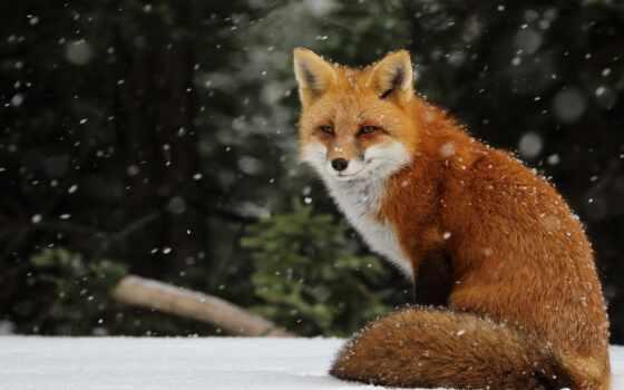 фокс, animal, ordinary, red, wikid, коллекция, снег, vulpe