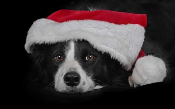 собака, black, морда, взгляд, колли, border, шапка, free