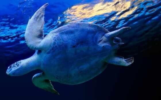 черепаха, marine, animal, плывёт, water