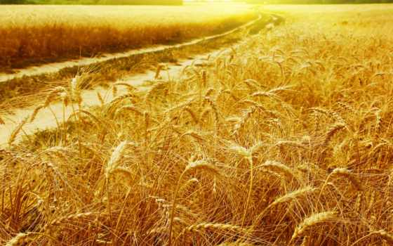 пшеница, поле Фон № 31766 разрешение 1920x1080