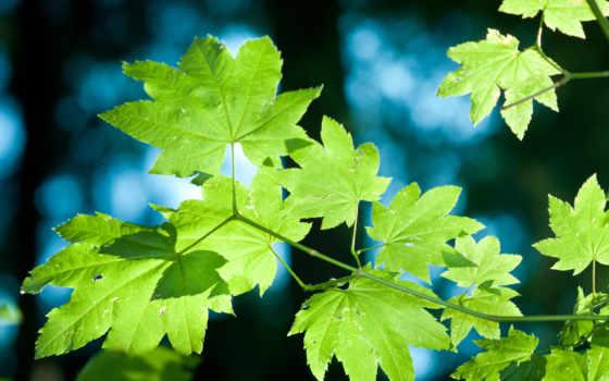 листья, кленовые, зеленые