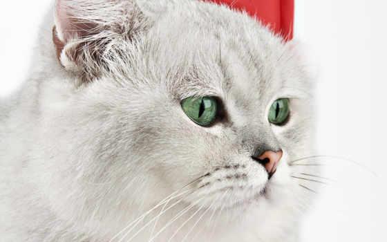 kot, кошка, пепельный