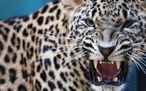 леопард, ухмылка, зубы