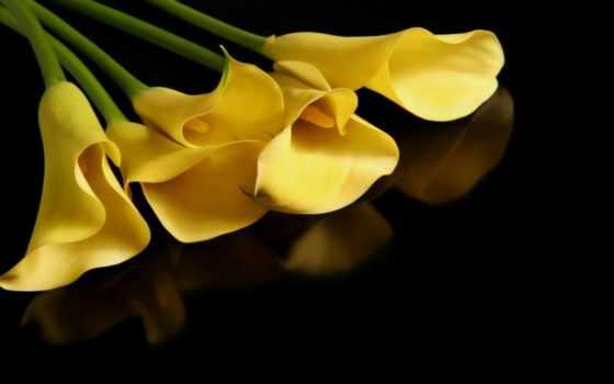 каллы, желтые