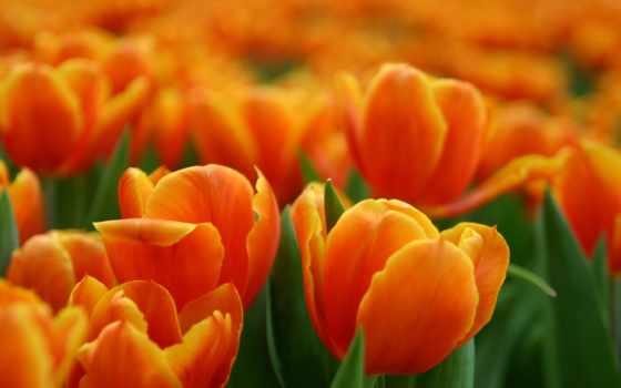 оранжевые, цветы, color