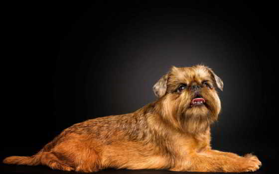 собаки, белоголовый, zhivotnye, собака, зооклубе, картинка, mais, собак, брюссель,