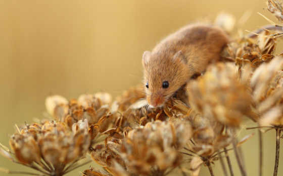 mouse, полёвка, рыжая, сухие, растение, цветы, полевая, мыши,