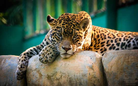 jaguar, ecran, sur