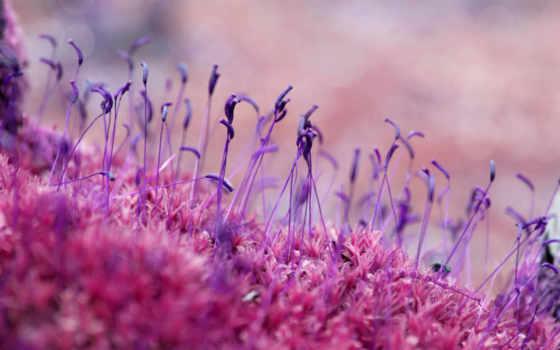 мох, макро, семена, трава, лес, color, сиреневый, browse, розовый,