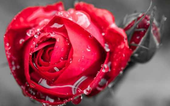 rosa, gotas, agua
