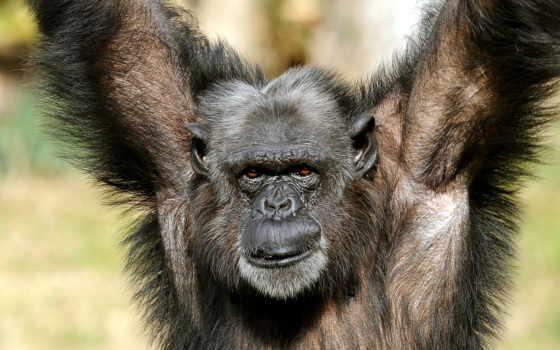 примат, шимпанзе, обезьяна, zhivotnye, голова, категории, картинка, пасть, шерсть, сиаманг,