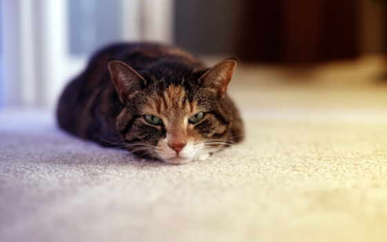 страница, кот, лежит, морда, zhivotnye, полу, sleepy,