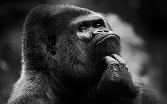 горилла, обезьяна, шимпанзе