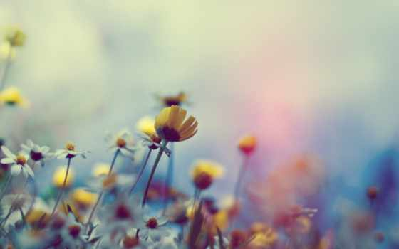 цветы, полевые, ромашки