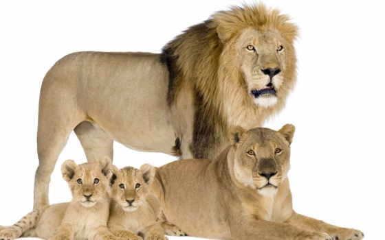 lion, семья, львица, львята, львы,