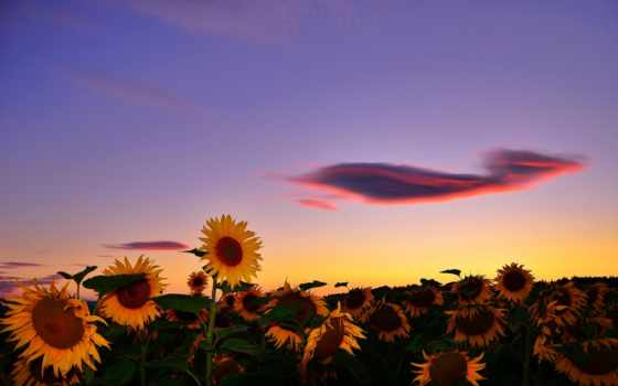 summer, подсолнухи, поле